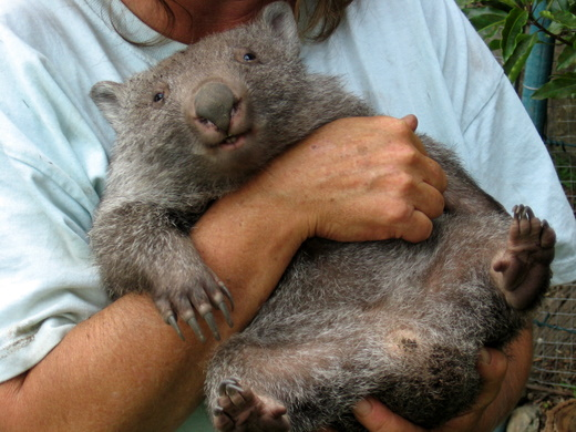 Wombat in Potoroo place, NSW